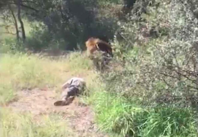 Bị sư tử tấn công, kéo vào trong chuồng, chủ một công viên hoang dã may mắn sống sót đầy kỳ tích 1