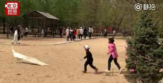 Trung Quốc: Bố mẹ thản nhiên nhìn con đuổi bắt, vặt lông chim công trong vườn thú 1