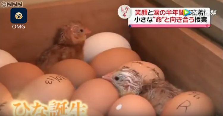 Lớp học gây tranh cãi ở Nhật Bản: Cho học sinh tập ấp trứng, nuôi gà rồi 6 tháng sau bắt các em tự tay giết thịt 2