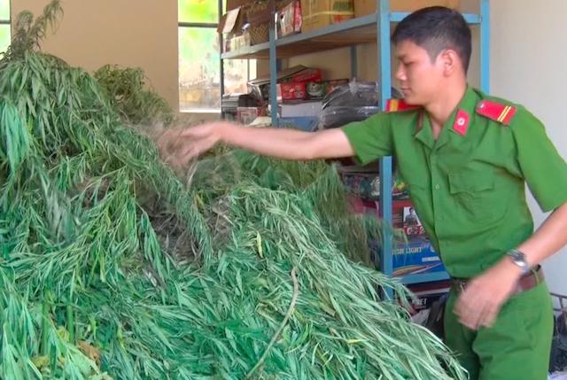 Cảnh sát nhổ bỏ vườn cần sa rộng 350 m2 của nông dân miền Tây  - Ảnh 1.