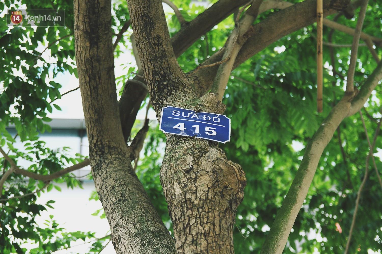 Người Hà Nội tiếc nuối hàng cây sưa quý hiếm chuẩn bị di dời để xây ga ngầm 5