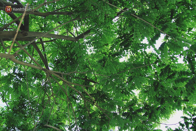 Người Hà Nội tiếc nuối hàng cây sưa quý hiếm chuẩn bị di dời để xây ga ngầm 8
