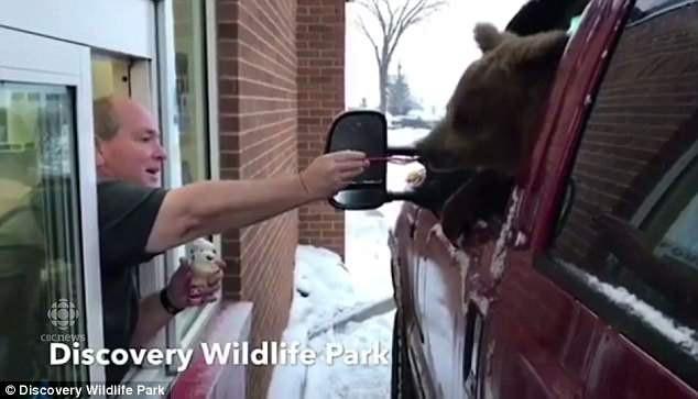 Sở thú Canada bị phạt sấp mặt vì dùng ô tô chở gấu đi ăn kem 1