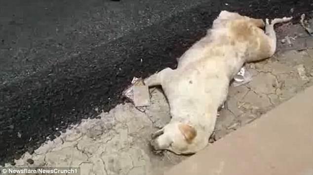 Dư luận Ấn Độ phẫn nộ vì nhóm công nhân thản nhiên rải nhựa đường lên một chú chó đang nằm ngủ 1
