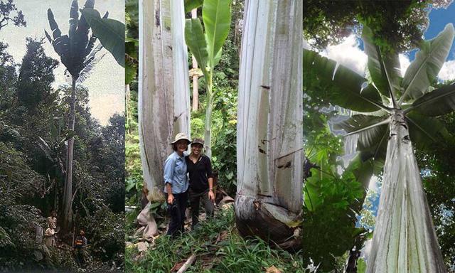 Khách du lịch choáng khi thấy chuối 'khủng' dài 30 cm 2