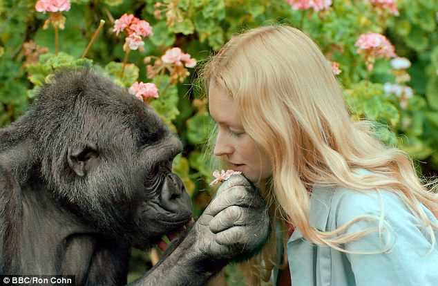 Koko - khỉ đột biết 'nói chuyện' với con người đã qua đời ở tuổi 46 1