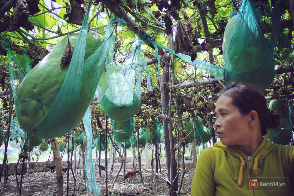 Cận cảnh khu vườn với những quả bí đao khổng lồ