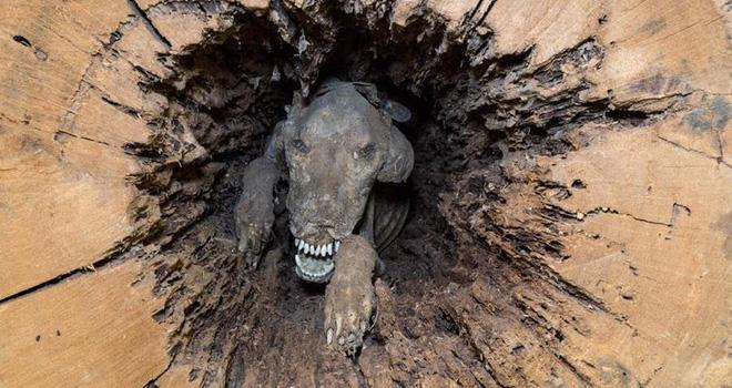 Stuckie - Chú chó săn xui xẻo vì mải mê đuổi con mồi để rồi hóa xác ướp mắc kẹt trong thân cây hơn nửa thế kỷ 1