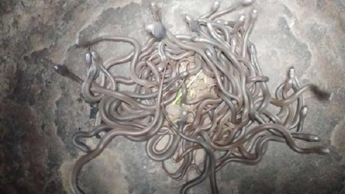 Lạnh người cảnh hàng trăm rắn hổ mang con