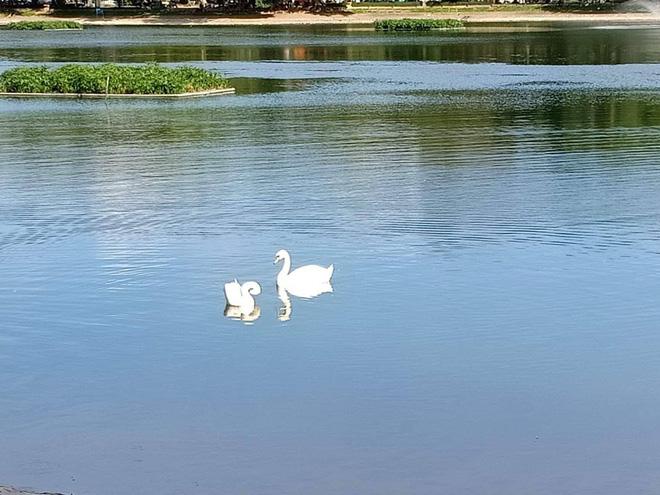 Đàn thiên nga ở hồ Thiền Quang