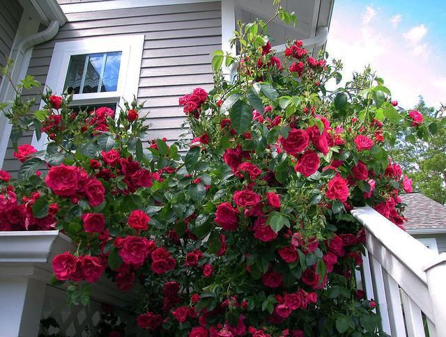 Trồng 7 loại cây có hoa này để ngôi nhà mát lịm trong những ngày nóng như đổ lửa - Ảnh 9.