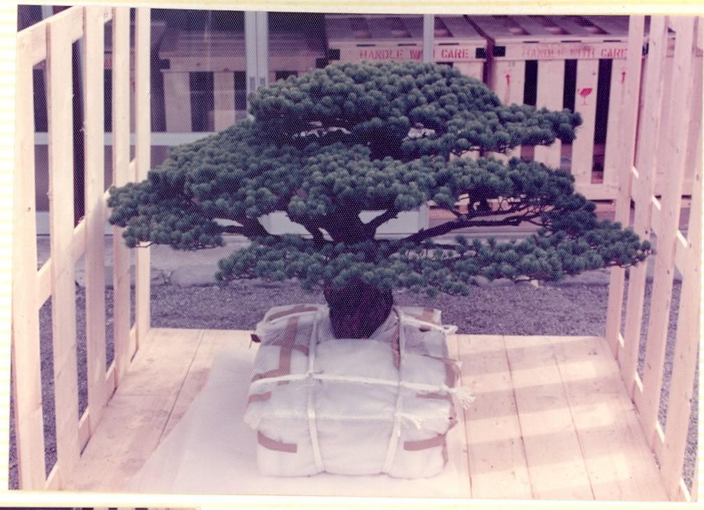 Câu chuyện của cây bonsai Nhật Bản 400 tuổi vẫn sống sót sau khi bom nguyên tử thả xuống Hiroshima - Ảnh 3.