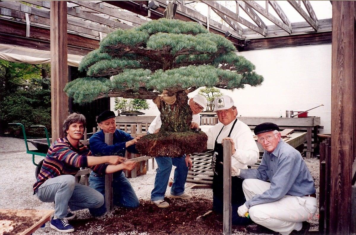 Câu chuyện của cây bonsai Nhật Bản 400 tuổi vẫn sống sót sau khi bom nguyên tử thả xuống Hiroshima 8