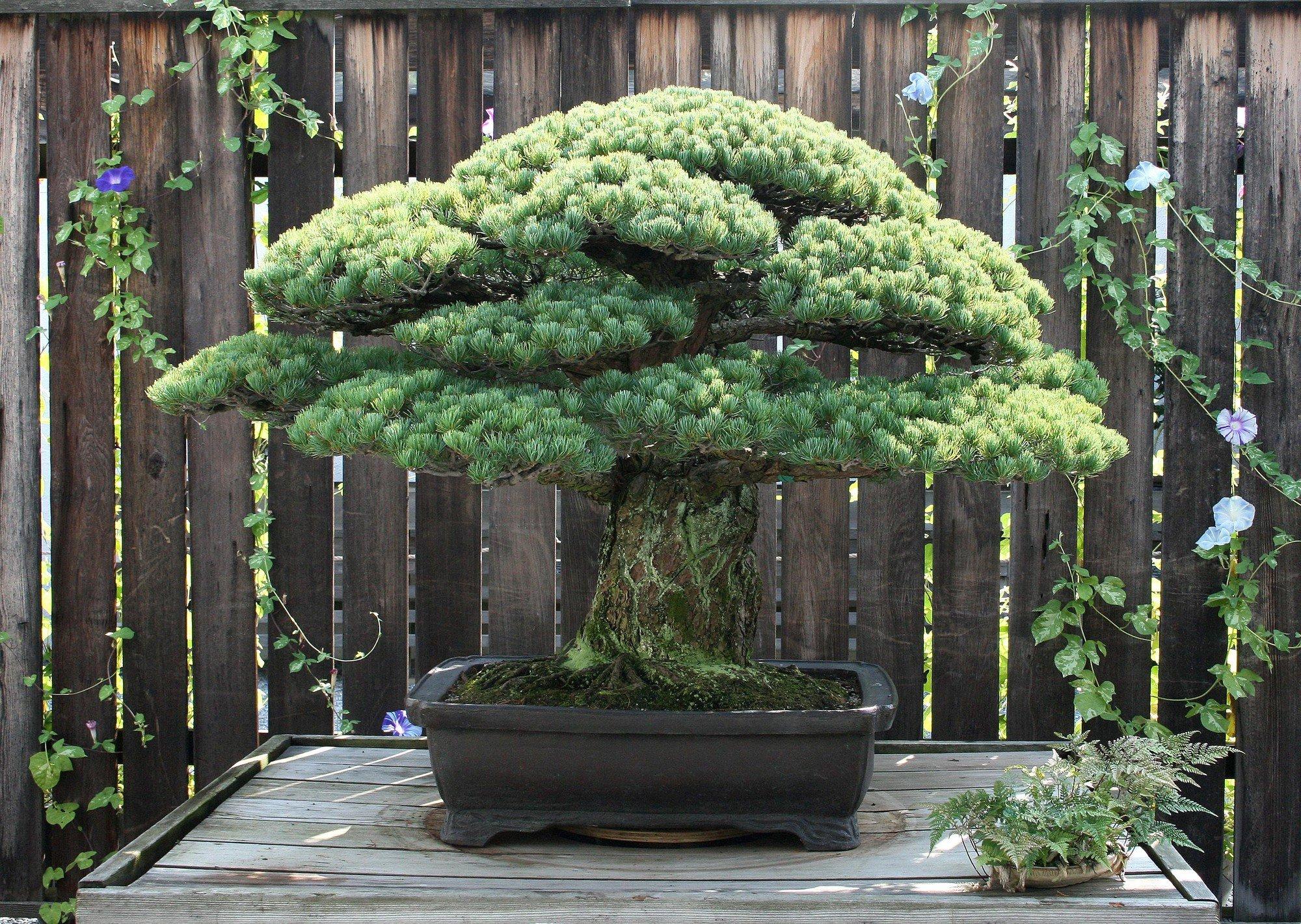 Câu chuyện của cây bonsai Nhật Bản 400 tuổi vẫn sống sót sau khi bom nguyên tử thả xuống Hiroshima 2