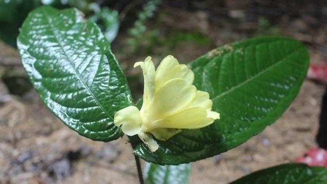 Hà Tĩnh phát hiện 2 loài trà mi hoa vàng cực quý hiếm ở Vườn quốc gia Vũ Quang 1