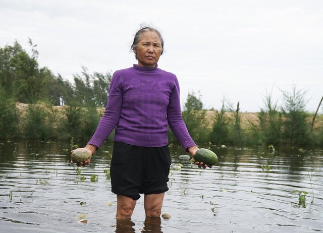 Nước nhấn chìm hoa màu ở Thanh Hóa, dân xót xa vứt hàng tấn dưa hấu cho bò ăn 1