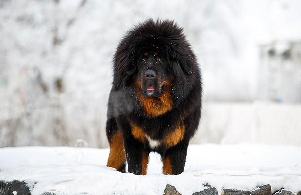 Là một trong những giống chó trung thành bậc nhất, tại sao ngao Tây Tạng vẫn cắn chủ? 2