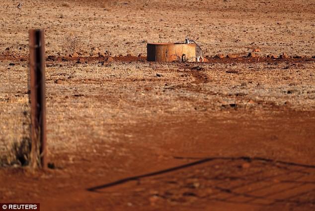 Úc: Đàn bò hàng trăm con bao vây tấn công một xe tải chở nước do quá khát trong đợt hạn hán kéo dài 4