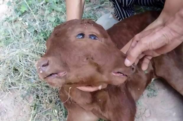 Hình ảnh Kỳ lạ bê đột biến gen có 2 mặt, 2 tai, 2 miệng tại Trung Quốc số 1