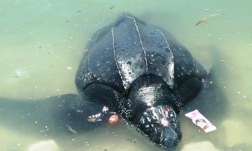 Hình ảnh Rùa quý hiếm 300kg mắc lưới ngư dân Lý Sơn số 1