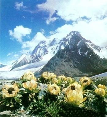 Hình ảnh Hoa sen tuyết 7 năm mới nở 1 lần, giới nhà giàu bỏ tiền triệu mua về làm quà số 3