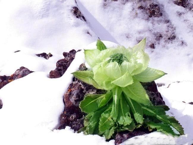 Hoa sen tuyết 7 năm mới nở 1 lần, giới nhà giàu bỏ tiền triệu mua về làm quà 4