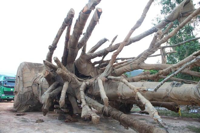 Bất ngờ với hình ảnh ba cây quái thú bị tạm giữ ở Huế sau 5 tháng 1