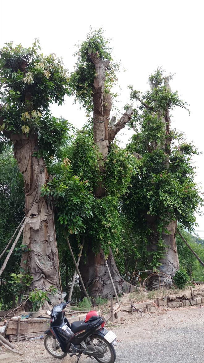 Bất ngờ với hình ảnh ba cây quái thú bị tạm giữ ở Huế sau 5 tháng 2