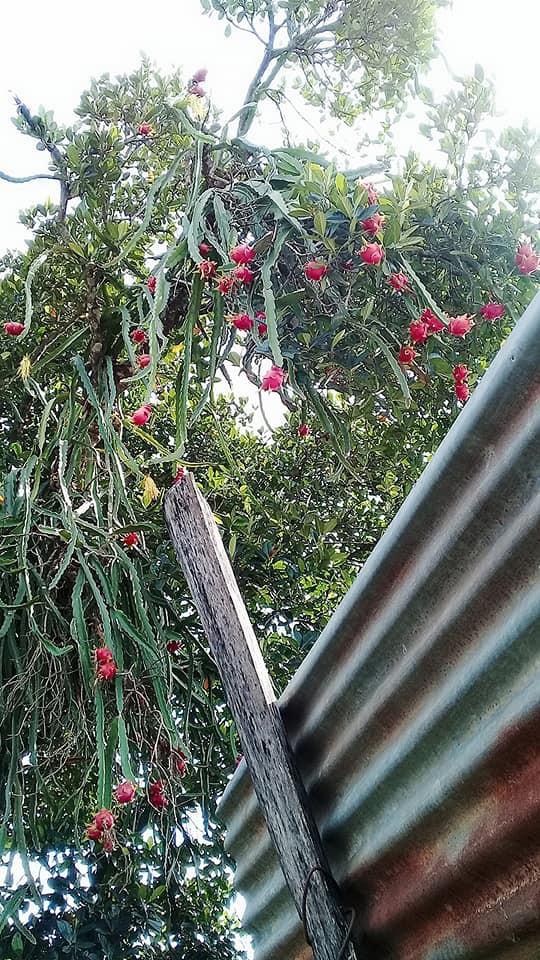 Thương cảnh oái oăm của gia chủ có cây thanh long sai trĩu trịt nhưng mọc lơ lửng giữa không trung, dân mạng hiến kế cách thu hoạch 2