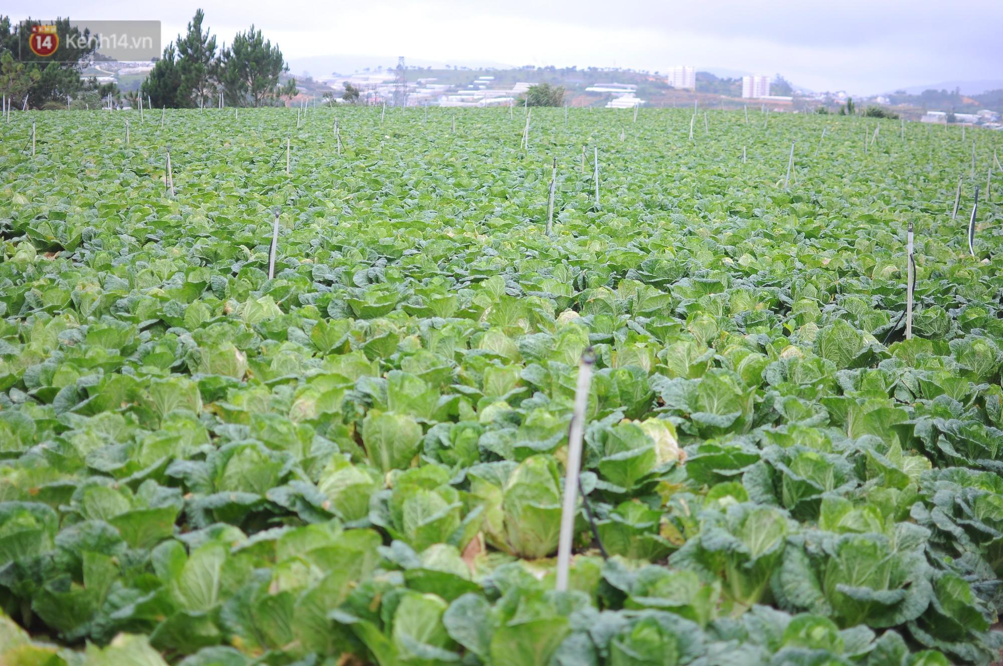 Nông dân khốn khổ vì nông sản Trung Quốc nhái hàng Đà Lạt: