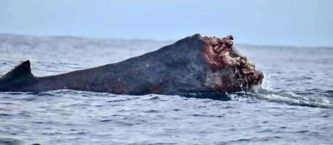 Cảnh tượng hãi hùng: Cá voi lưng gù bị mất nửa thân bơi lội xuyên Thái Bình Dương 2