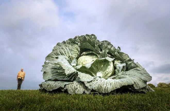 """7 ngày qua ảnh: Nông dân trồng được cải bắp """"quái vật"""" nặng 30kg 3"""