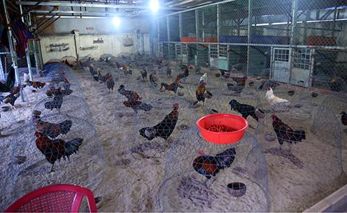 Vây ráp trường gà trong căn biệt thự ở Bình Dương, phát hiện 50 người đang đá gà ăn tiền 1