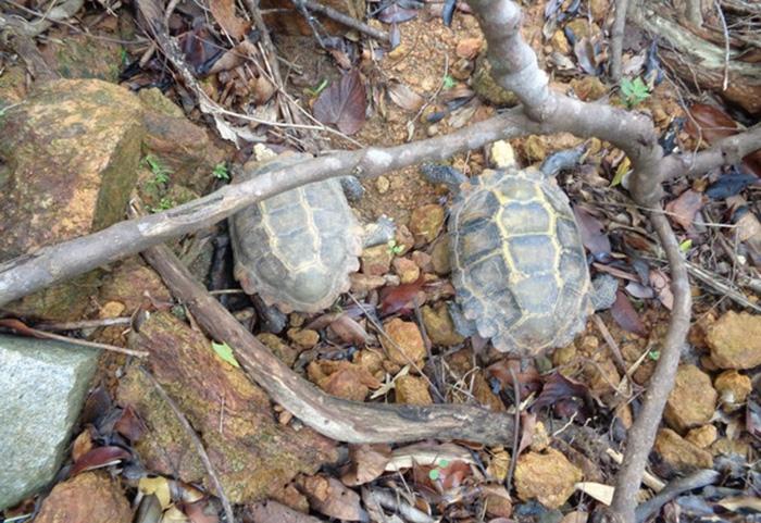 Người dân Kon Tum phát hiện rùa quý 1,5 kg bò lang thang trên đường 2