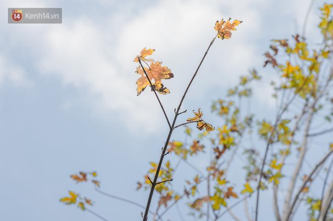 Hàng cây phong lá đỏ