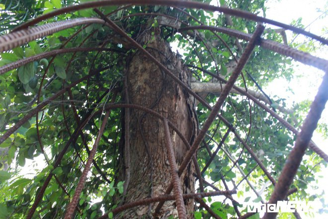Ly kỳ quanh cây sưa trăm tỷ ở Hà Nội sắp được bán: Người dân như ngồi trên đống lửa khi cây bị mối mọt tấn công 2