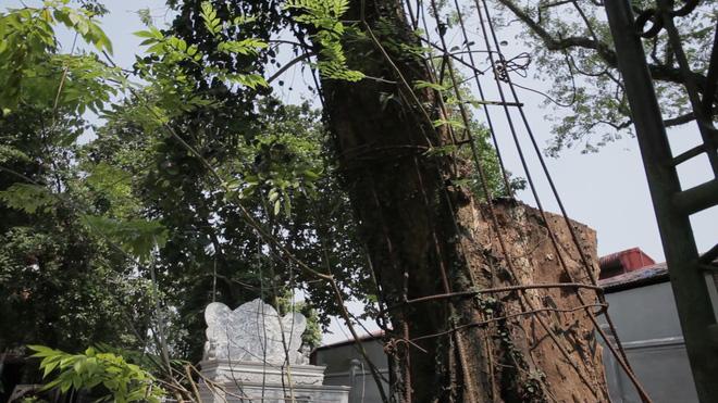 Cây sưa đỏ trăm tỷ làng Phụ Chính: Vỏ ngoài sẽ bị cấu nát thành mùn, bán càng sớm càng tốt 1