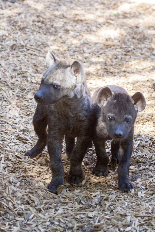Hình ảnh Những loài vật tàn ác nhất: Hạ sát anh chị em ngay khi mới chào đời số 6