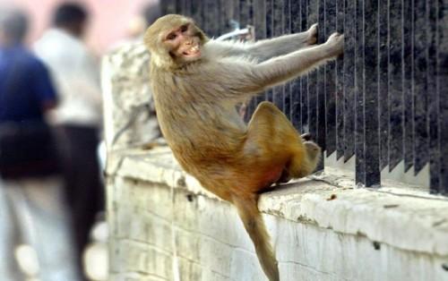 Bị đàn khỉ ném đá tử vong, gia đình nạn nhân đâm đơn kiện 1