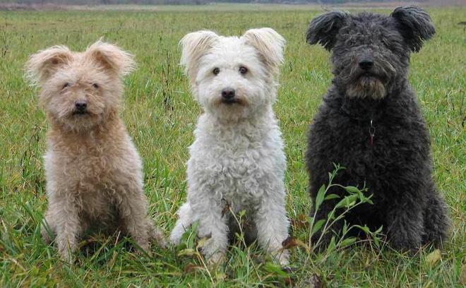 7 giống chó quý hiếm nhưng ít người biết đến, có cả quốc khuyển Triều Tiên dữ như cọp 2
