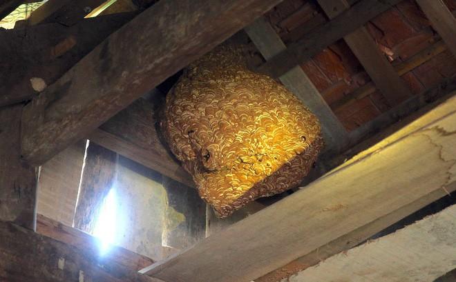 Một gia đình sống chung với hàng nghìn con ong vò vẽ kịch độc trong phòng ngủ 1