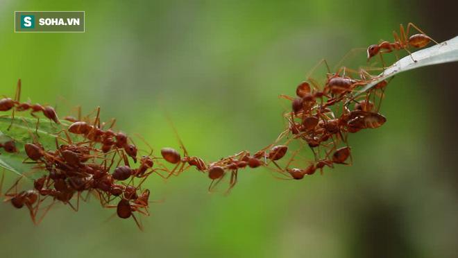 Xây cầu giữa không trung: Loài kiến đã thực hiện nhiệm vụ bất khả thi này như thế nào? - Ảnh 1.