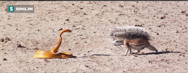 Hổ mang lúng túng trước vũ khí của con mồi, phải cuống cuồng bỏ chạy! - Ảnh 1.