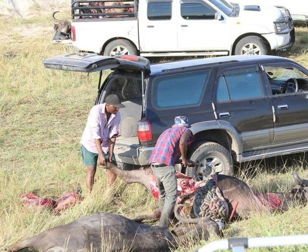 Hình ảnh 400 con trâu chết thảm dưới sông vì chạy trốn khỏi sư tử số 2