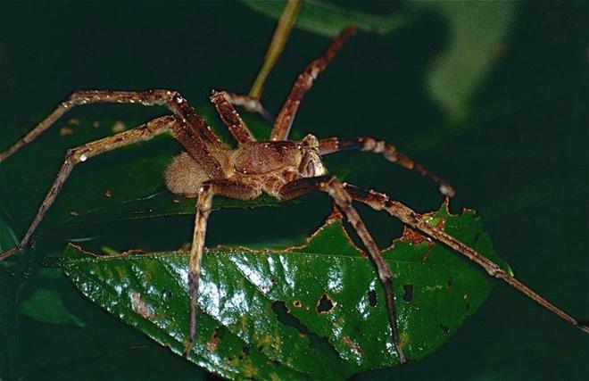 Nhện lãng du: Loài nhện tàn ác khiến quý ông cương cứng 4 giờ rồi chết 1