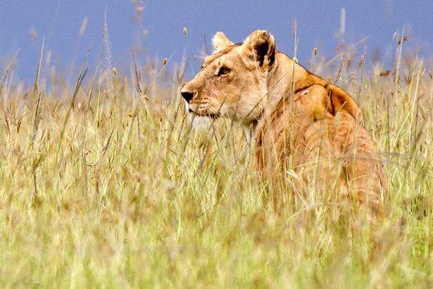 BBC gây xúc động mạnh với khoảnh khắc từ biệt đứa con bị trúng độc của sư tử cái - Ảnh 4.