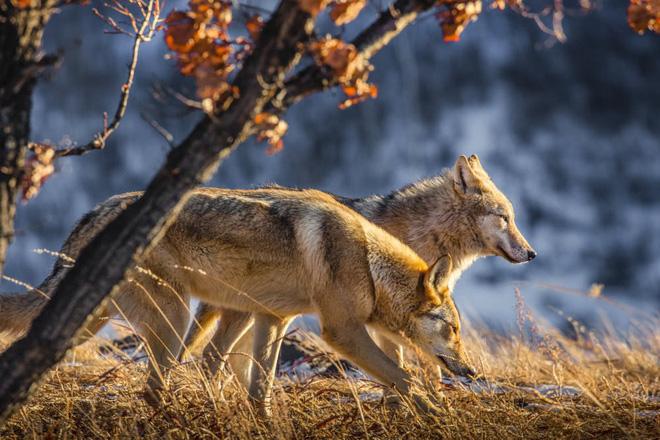 Cô gái Mông Cổ với dàn thú cưng độc 8 con sói, 3 bạn trai đều đòi chia tay vì sợ cãi nàng sẽ bị ăn thịt 8