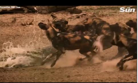 Video: Cận cảnh linh cẩu và cá sấu lần lượt tung đòn bất ngờ giết chết chó hoang 1