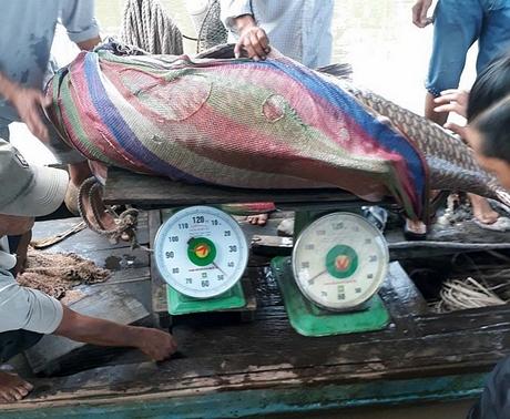 Ngư dân miền Tây bắt được cá hô vàng nặng 125 ký, bán hơn 300 triệu đồng 3