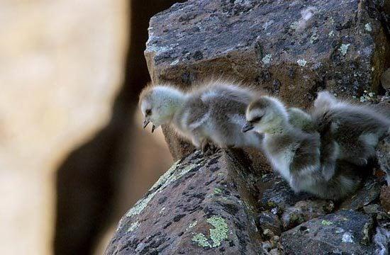 Ngỗng con quăng mình xuống vách đá: Sự thật đằng sau khiến nhiều người rơi nước mắt 2